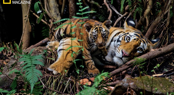 A mother rests with her two-month-old in Bandhavgarh National Park ©Steve Winter National Geographic