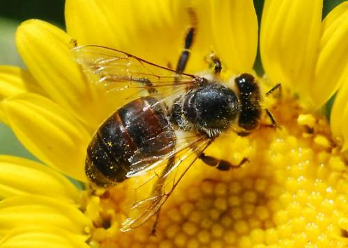 dark_honey_bee_hemberger1